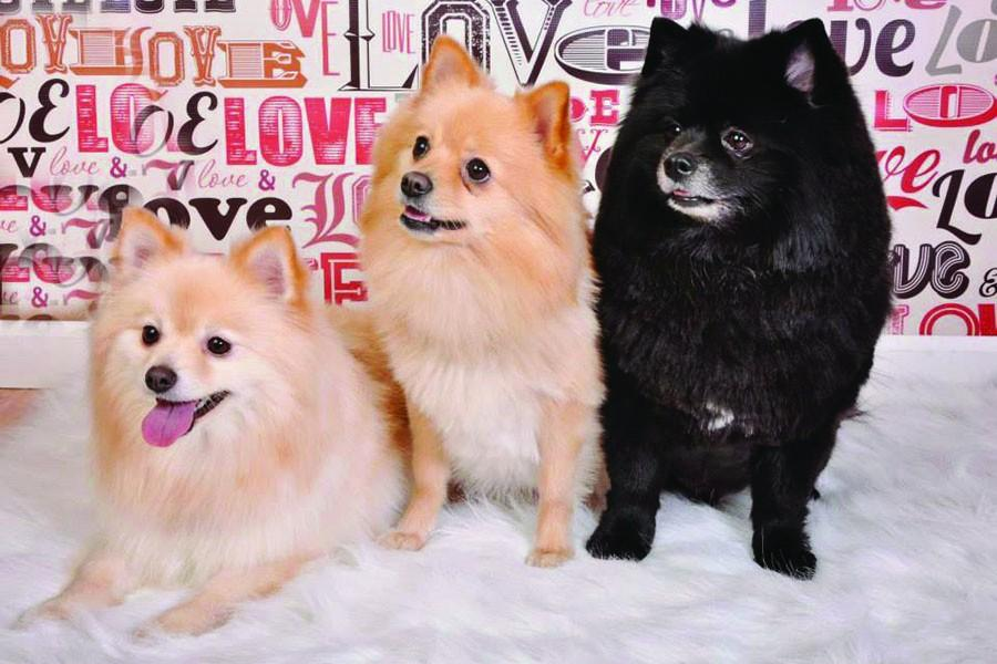 Madison+College+student+Caylei+Wright%E2%80%99s+experiences+as+the+owner+of+three+Pomeranians%2C+pictured+at+left%2C+have+taught+her+a+great+deal+about+what+people+should+consider+before+adopting+a+pet.